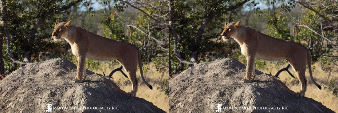 Proud Lioness in 3D