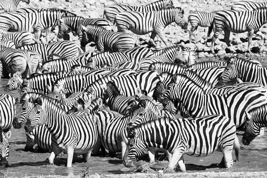 Zebra Soup