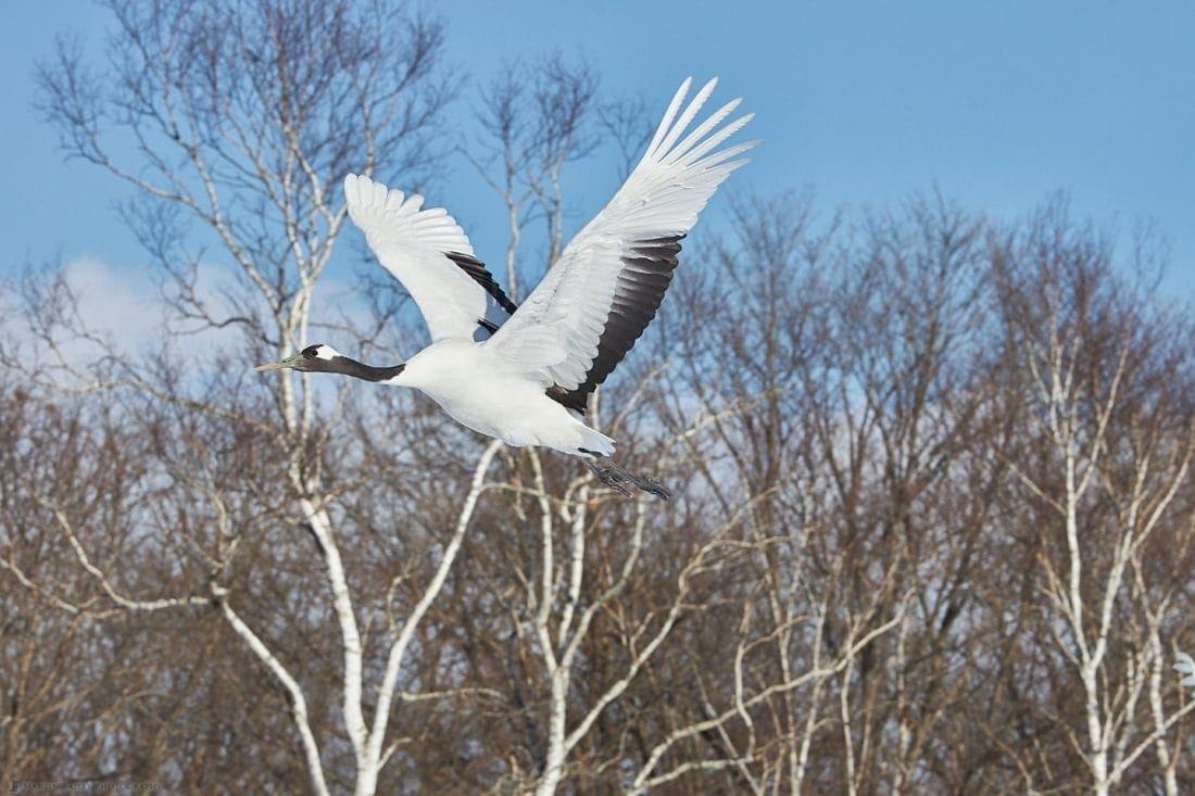 Crane with Birch Trees