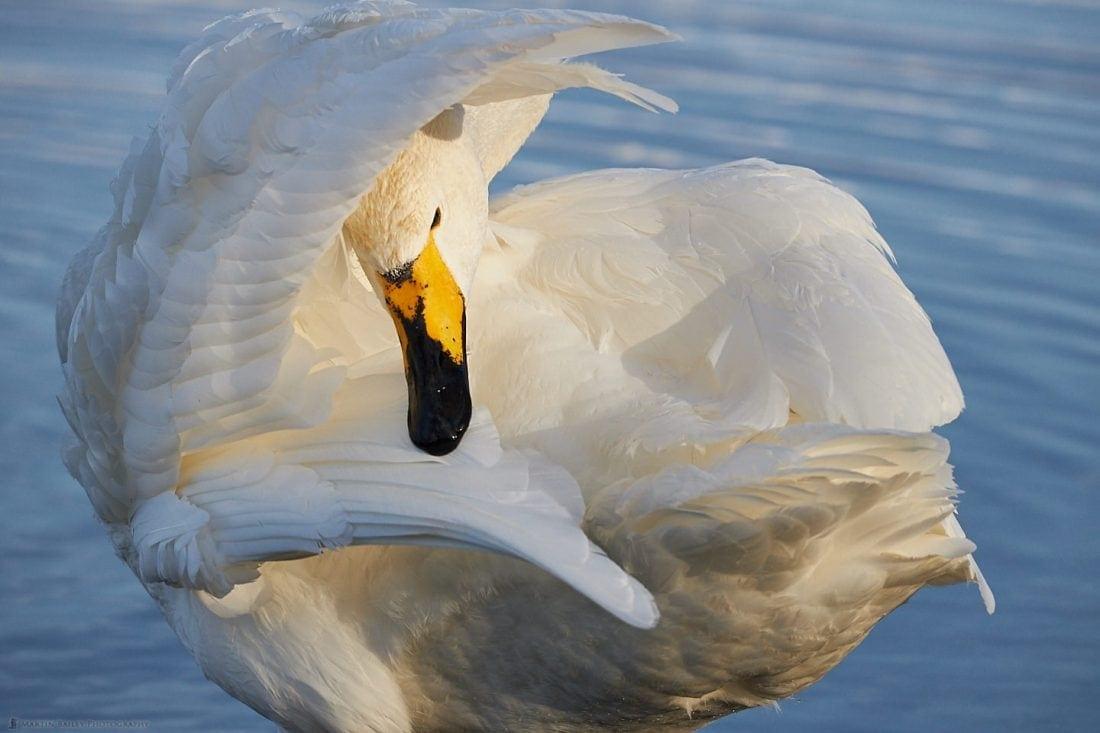 Whooper Swan Interior
