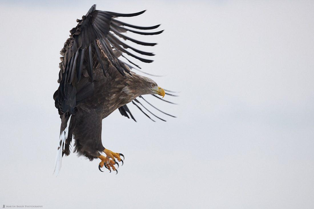 Menacing White-Tailed Eagle