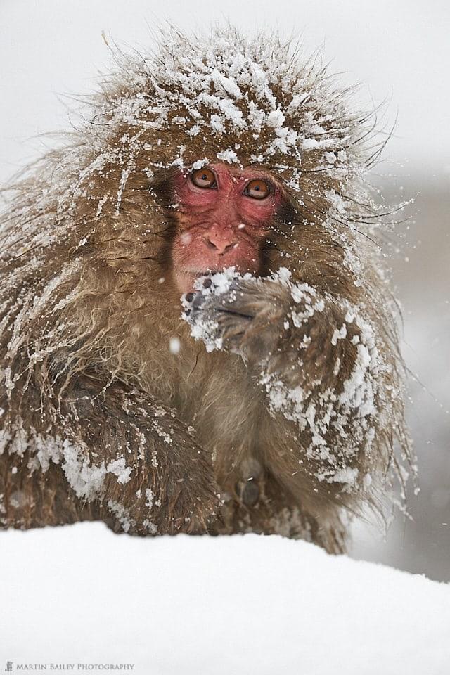 Very Snowy Monkey
