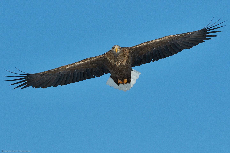 White-Tailed Eagle's Stare