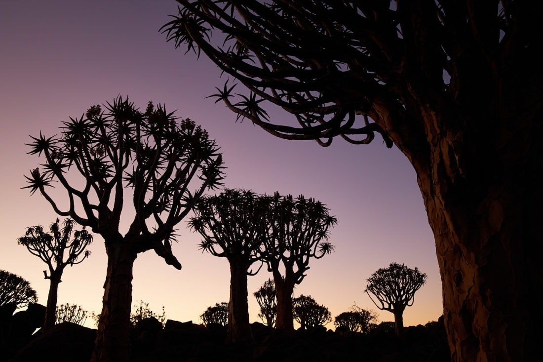 Quiver Tree Forest at Dusk