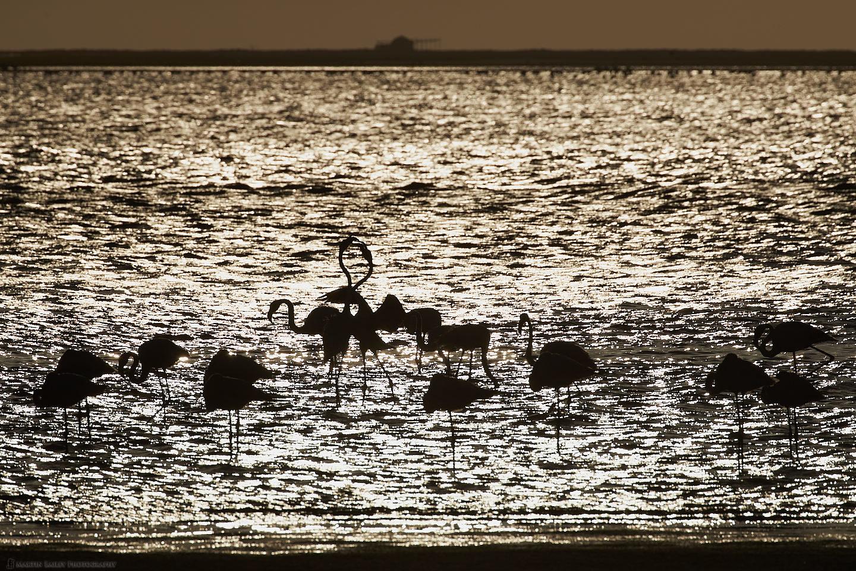 Flamingoes at Sunset