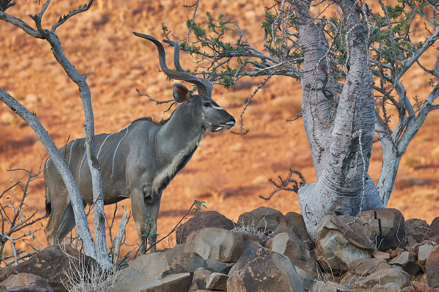 Greater Kudu with Bottle Tree