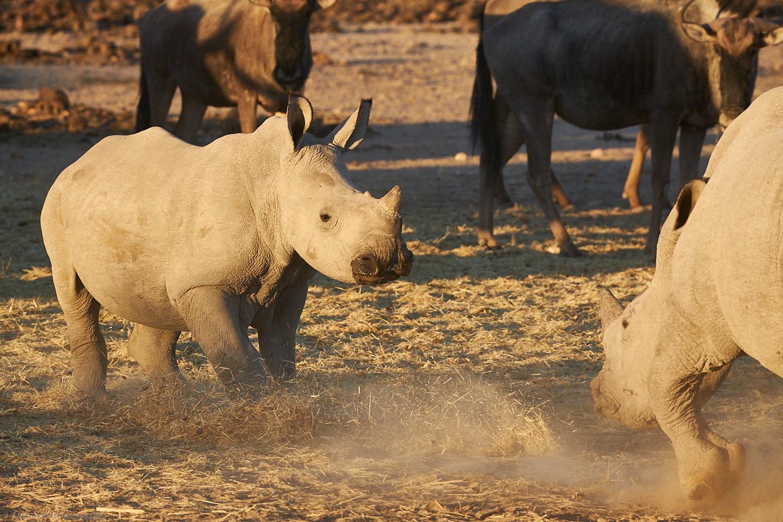 Young Rhino Squabble