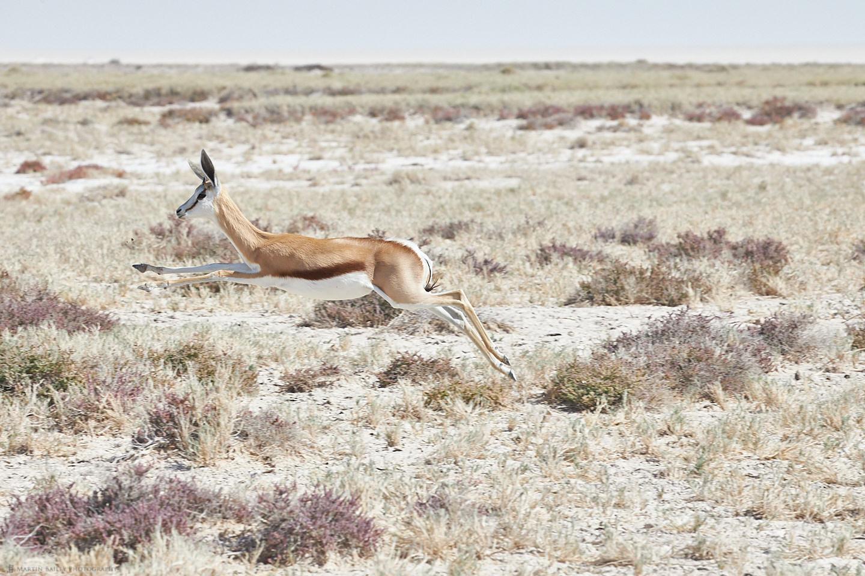 Flying Springbok