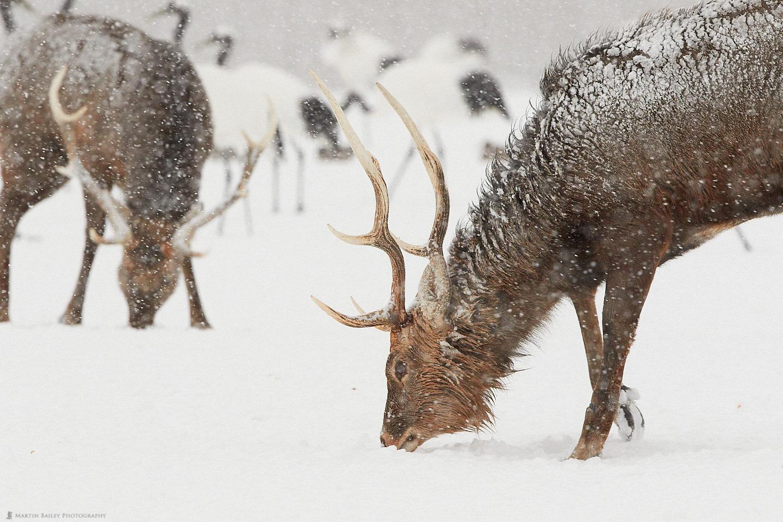 Ezo Deer Foraging