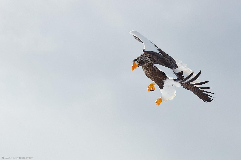 Steller's Sea Eagle Making a Fist