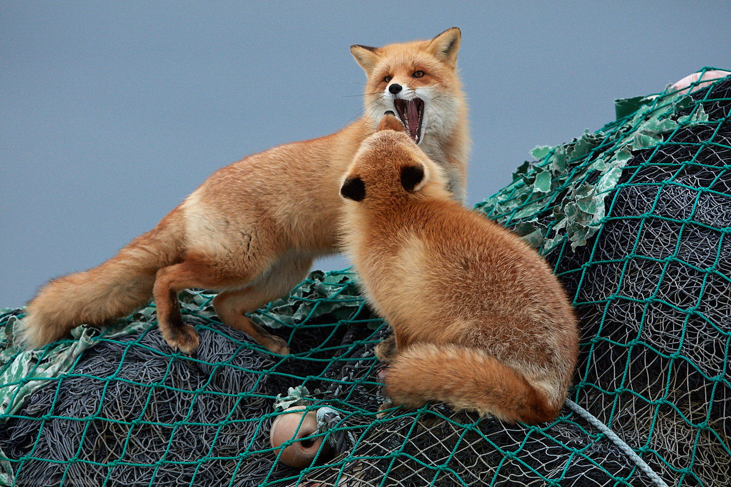 Foxes Comparing Mouth Size