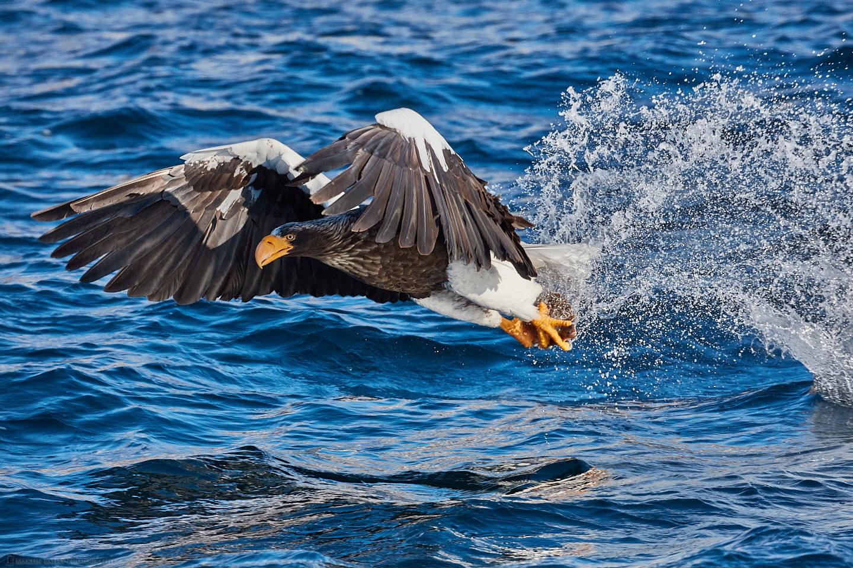 Steller's Sea Eagle Catch