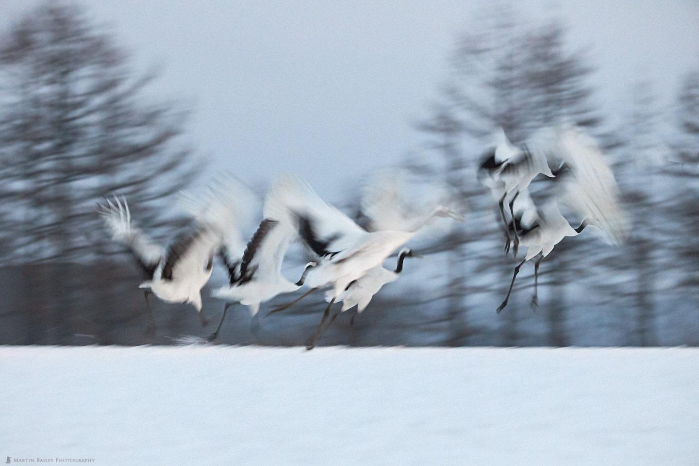 Six Cranes Take Flight