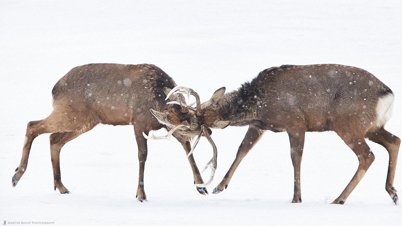 Ezo Deer Rut