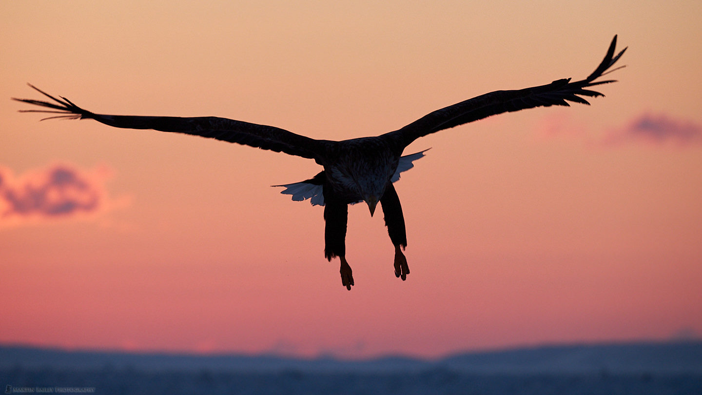White-Tailed Eagle at Dawn