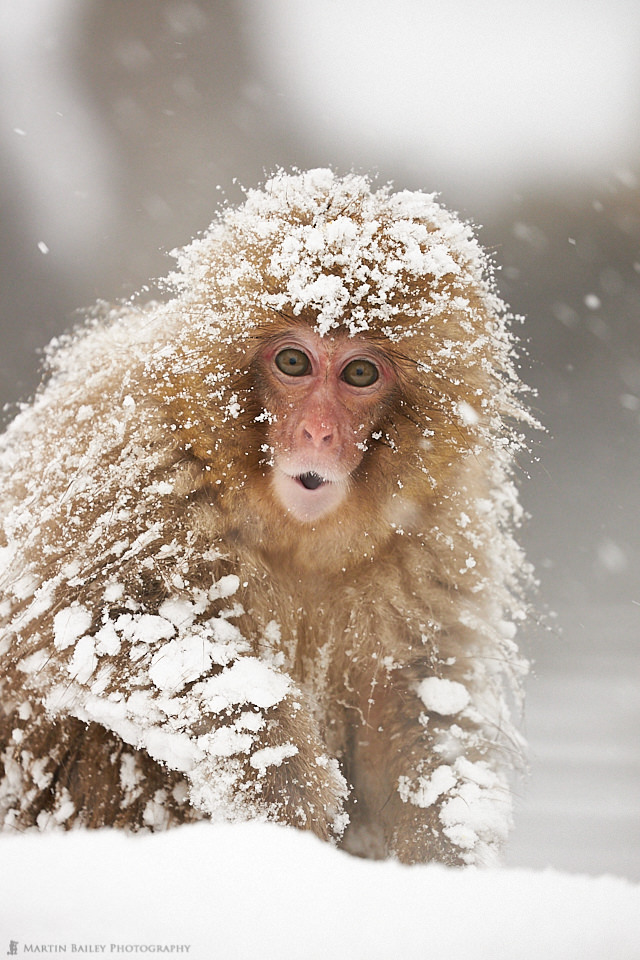 Startled Snow Monkey