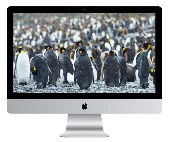 King Penguins in Snow in South Georgia Wallpaper Mockup