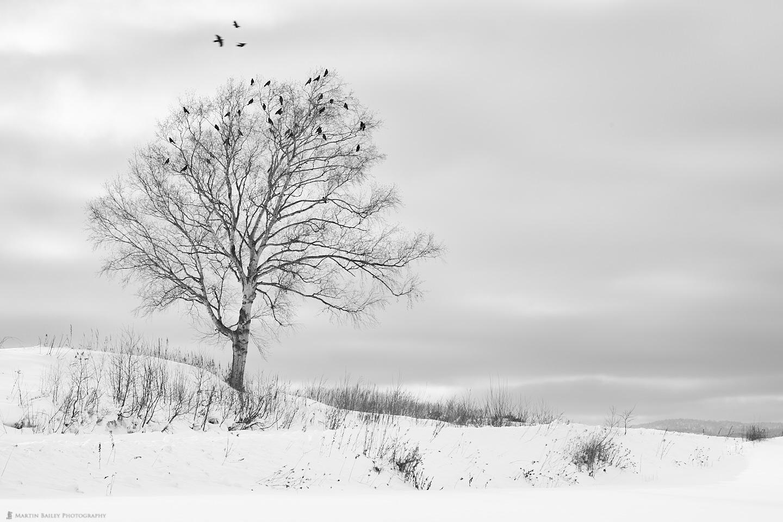 Raven's in Martin's Tree