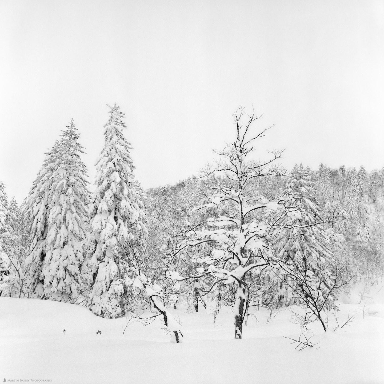 Mount Asahi Trees (Rollei)