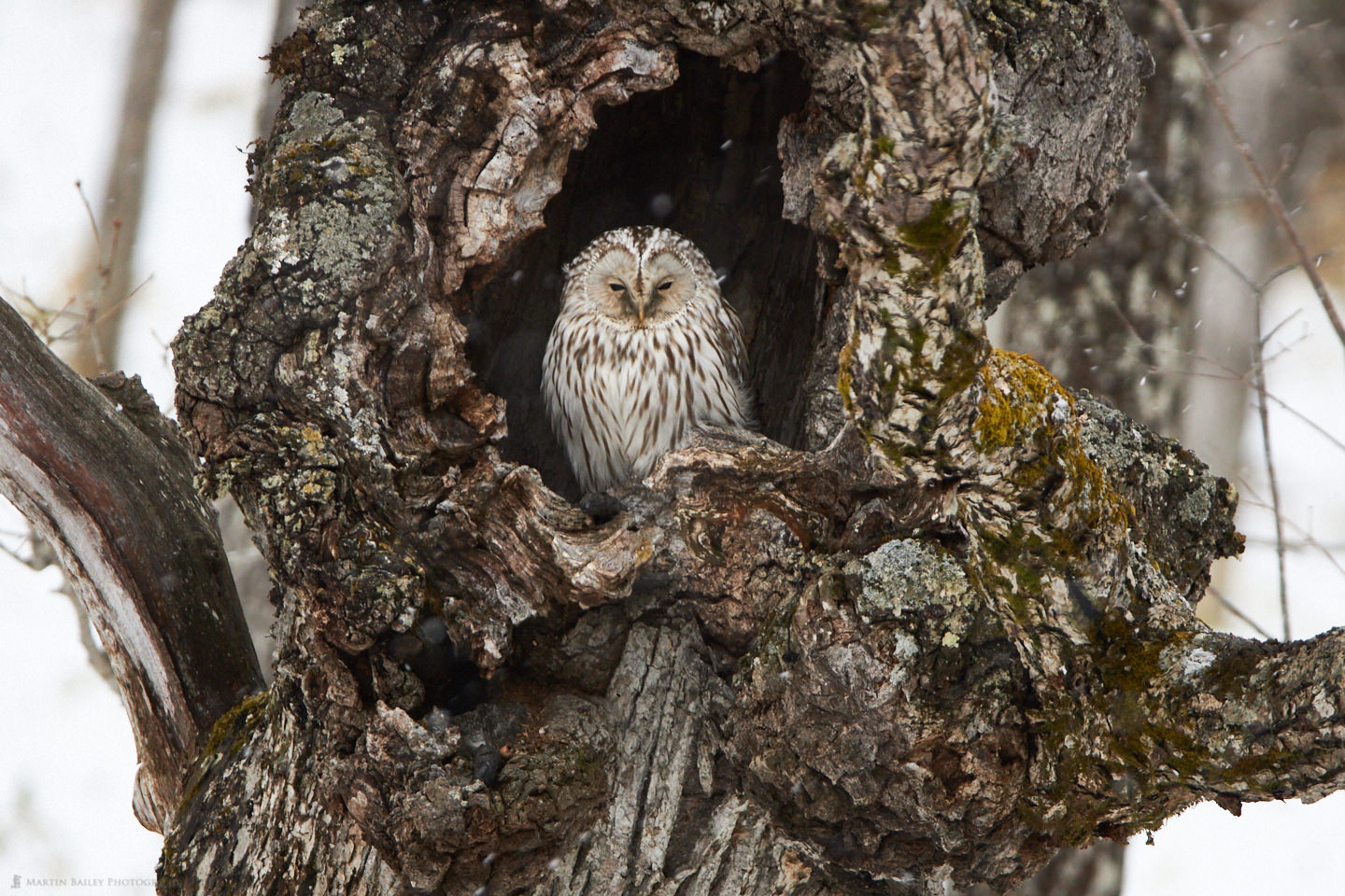 A Ural Owl in a Tree