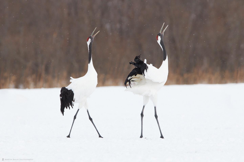 Cranes' Song