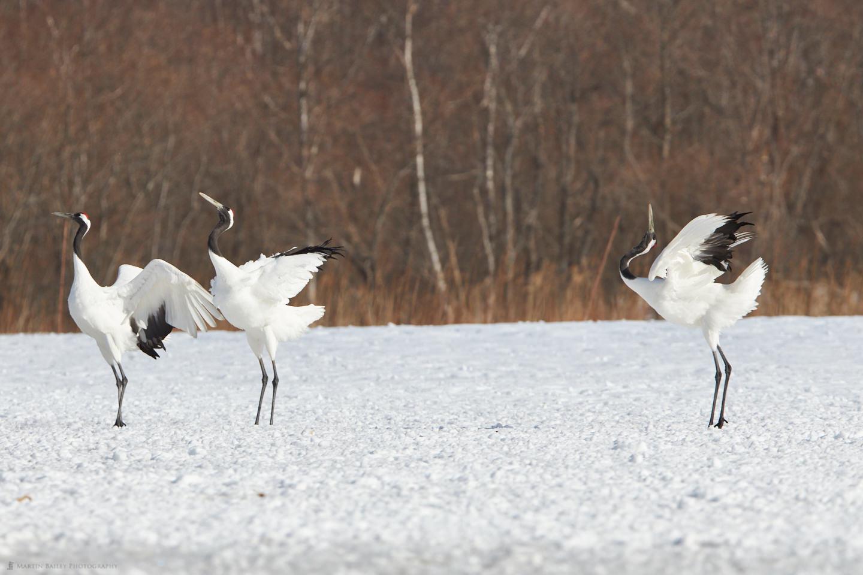 Cranes Arching their Backs