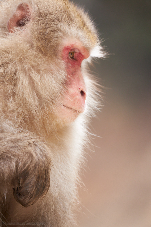 Monkey with Rim-Light
