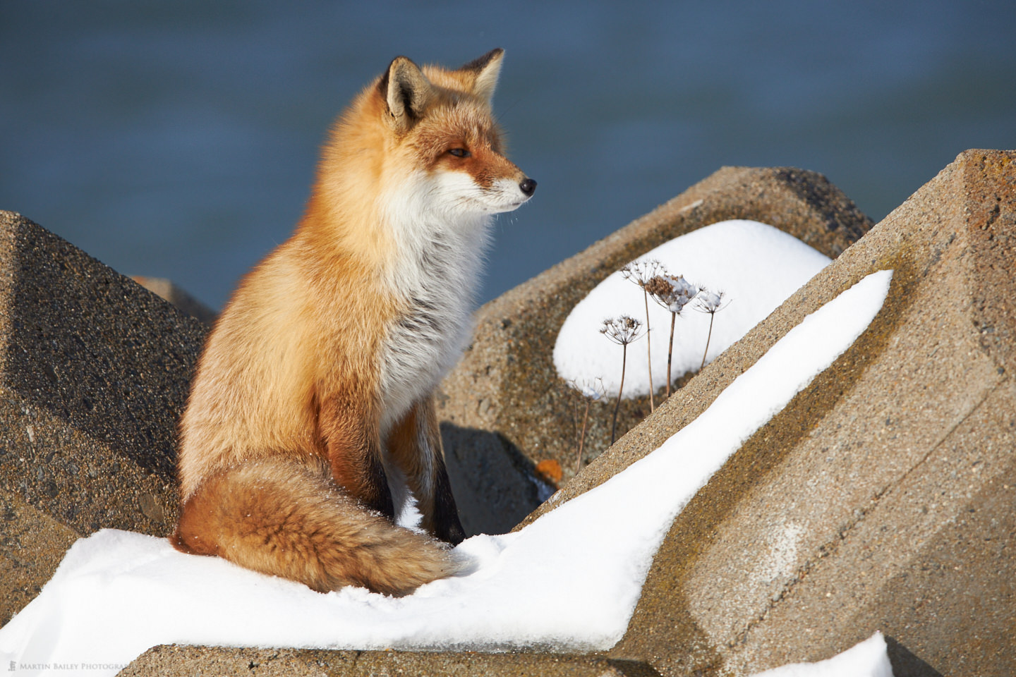Proud Red Fox