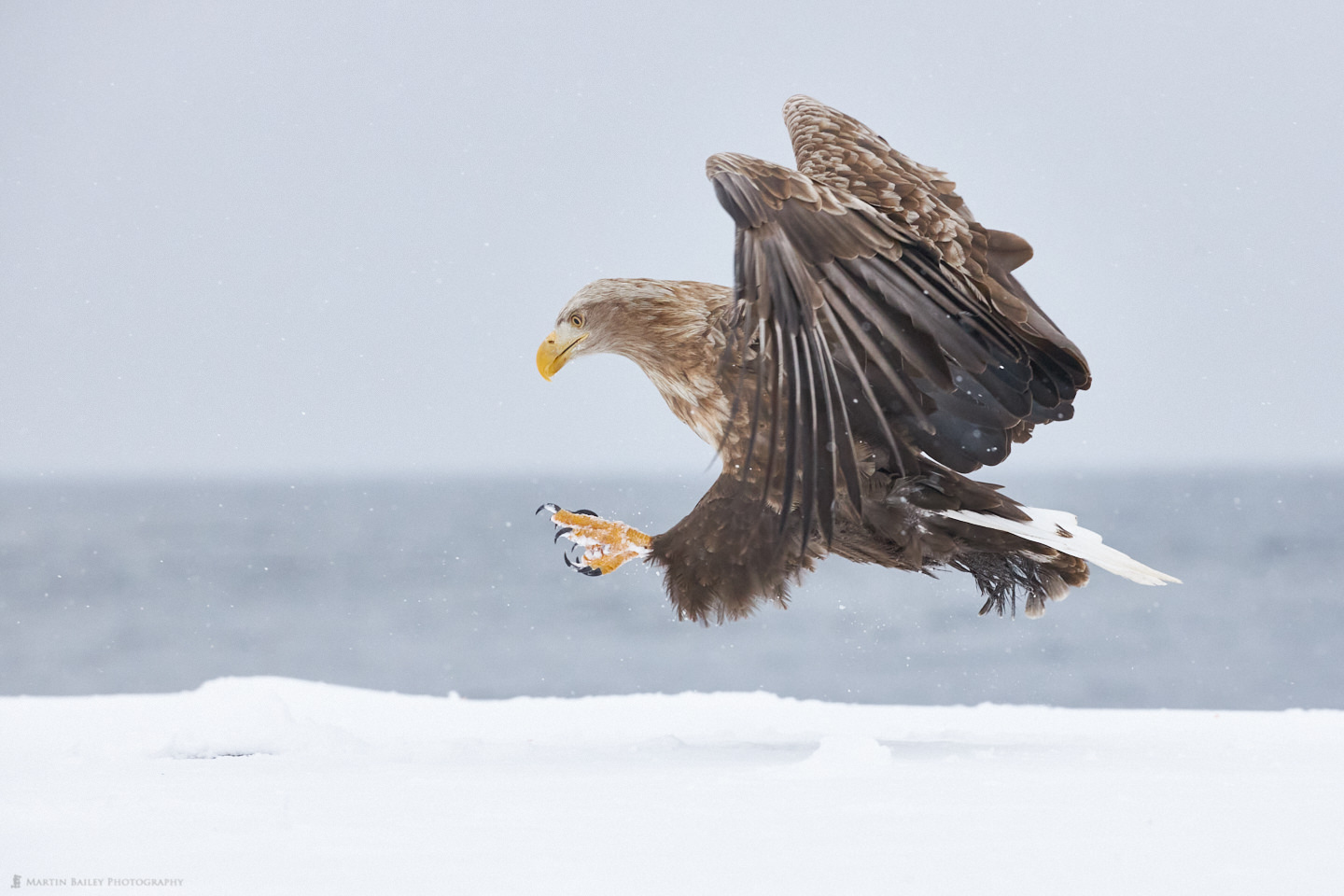 White-Tailed Eagle Swooping Down