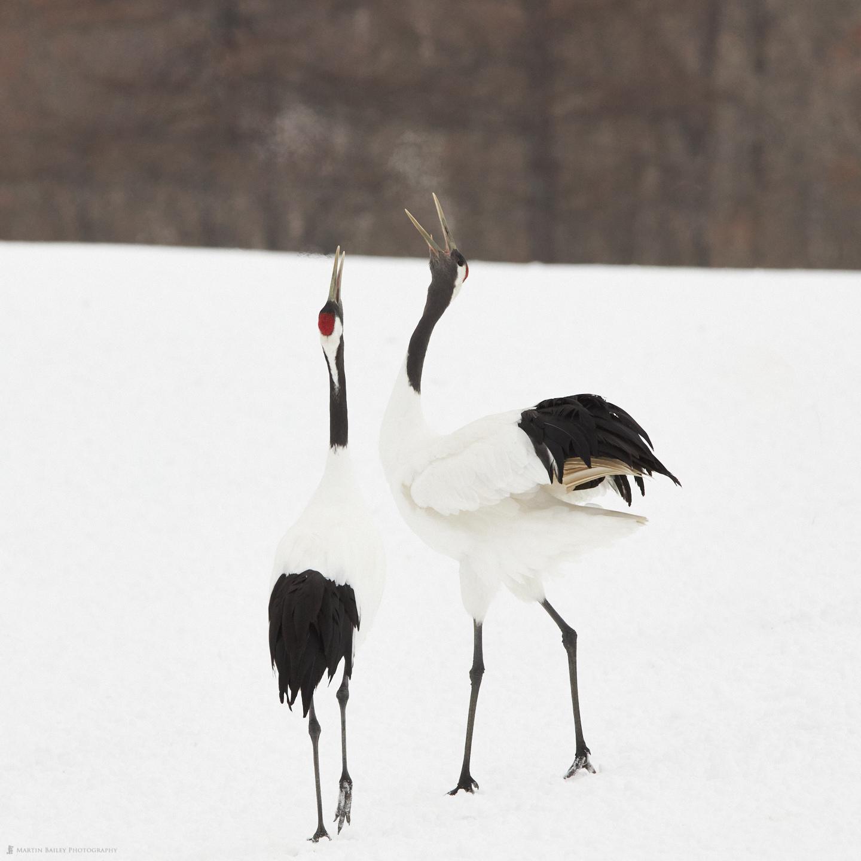 Cranes' Breath