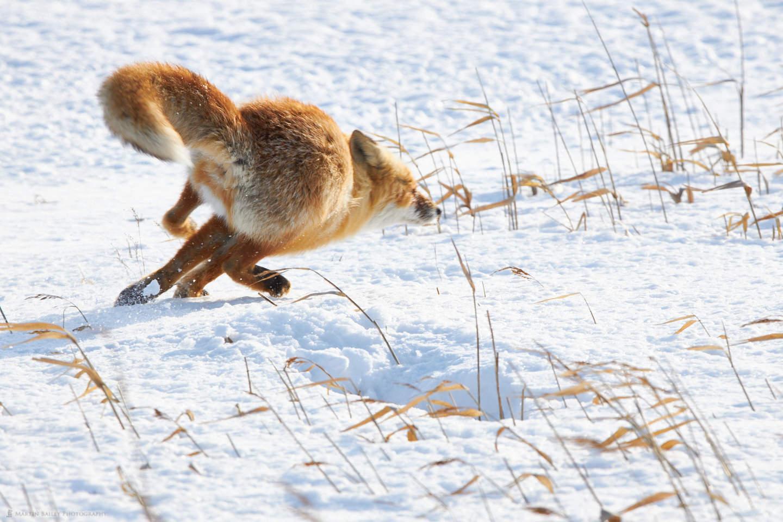 Fleeting Fox
