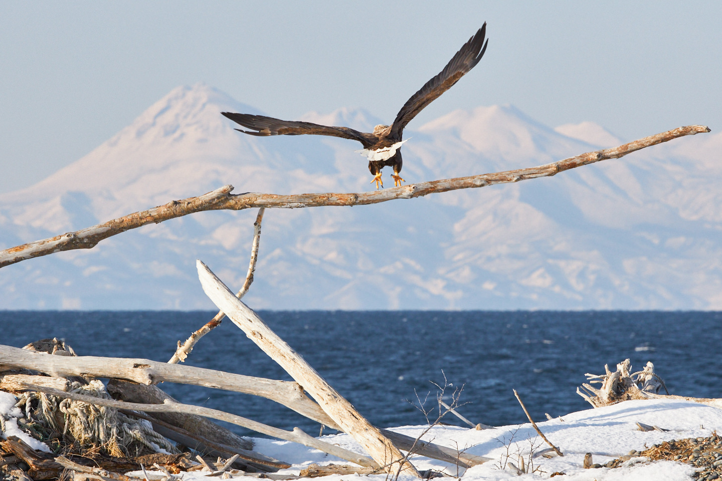 White-Tailed Eagle Departs