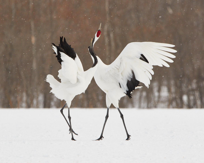 Cranes' Dance