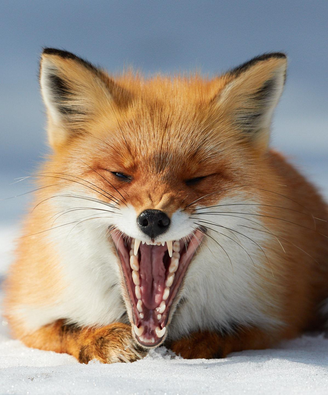 Fox's Yawn