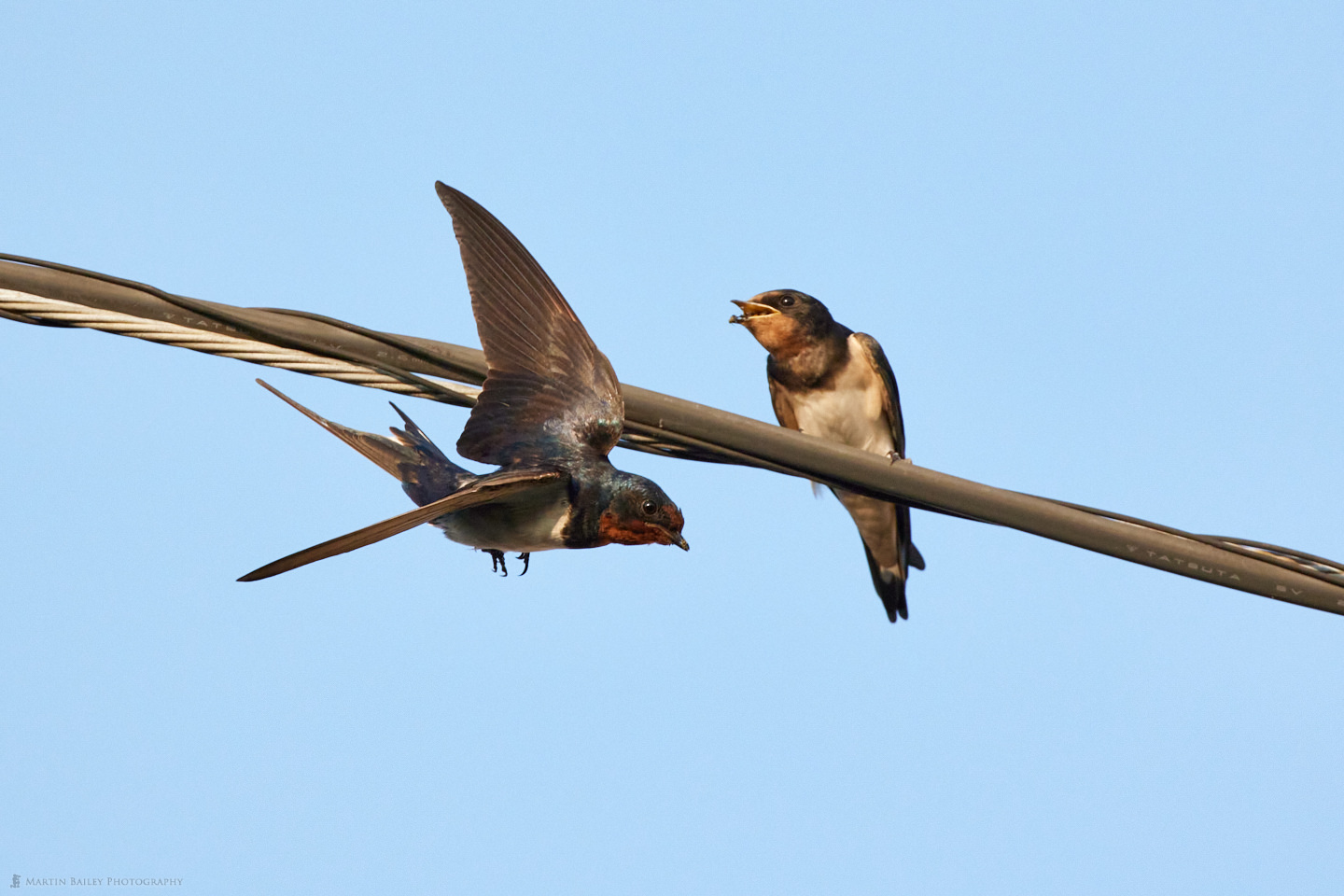 Barn Swallow Parent Flying Away After Feeding Fledgling