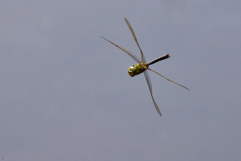 Lesser Emperor Dragonfly in Flight