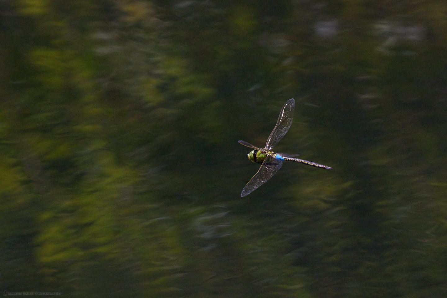Lesser Emperor Dragonfly in Flight Over Reflected Foliage