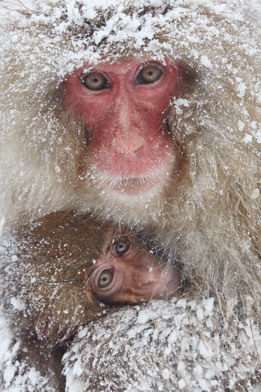 Snow Monkey Cuddle