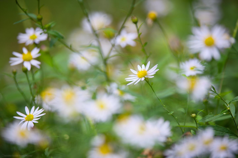 Daisy Flowerscape