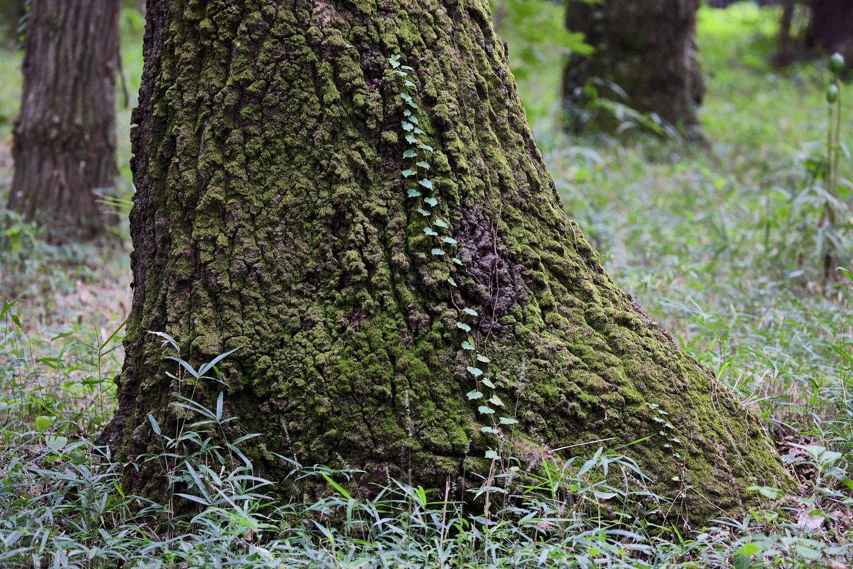 Ivy Tree Trunk