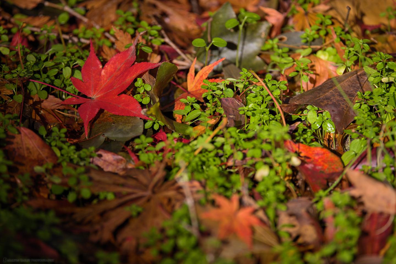 Fallen Red Maple Leaf