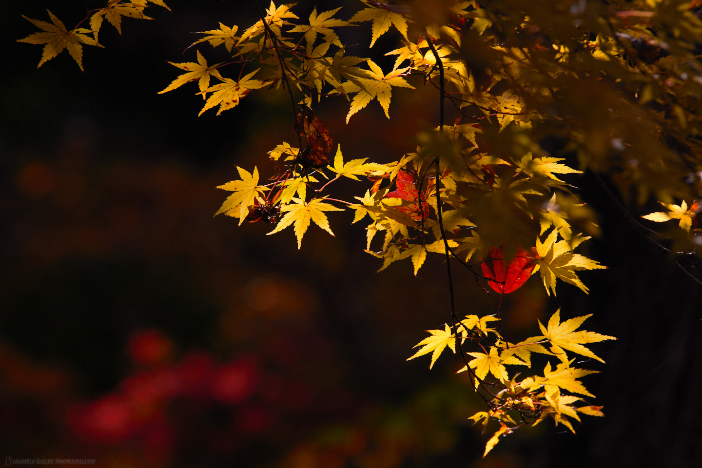 Yellow Autumn Maple (Here's Looking At You!)