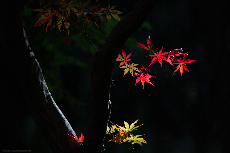 Lacquerware Maple Leaves