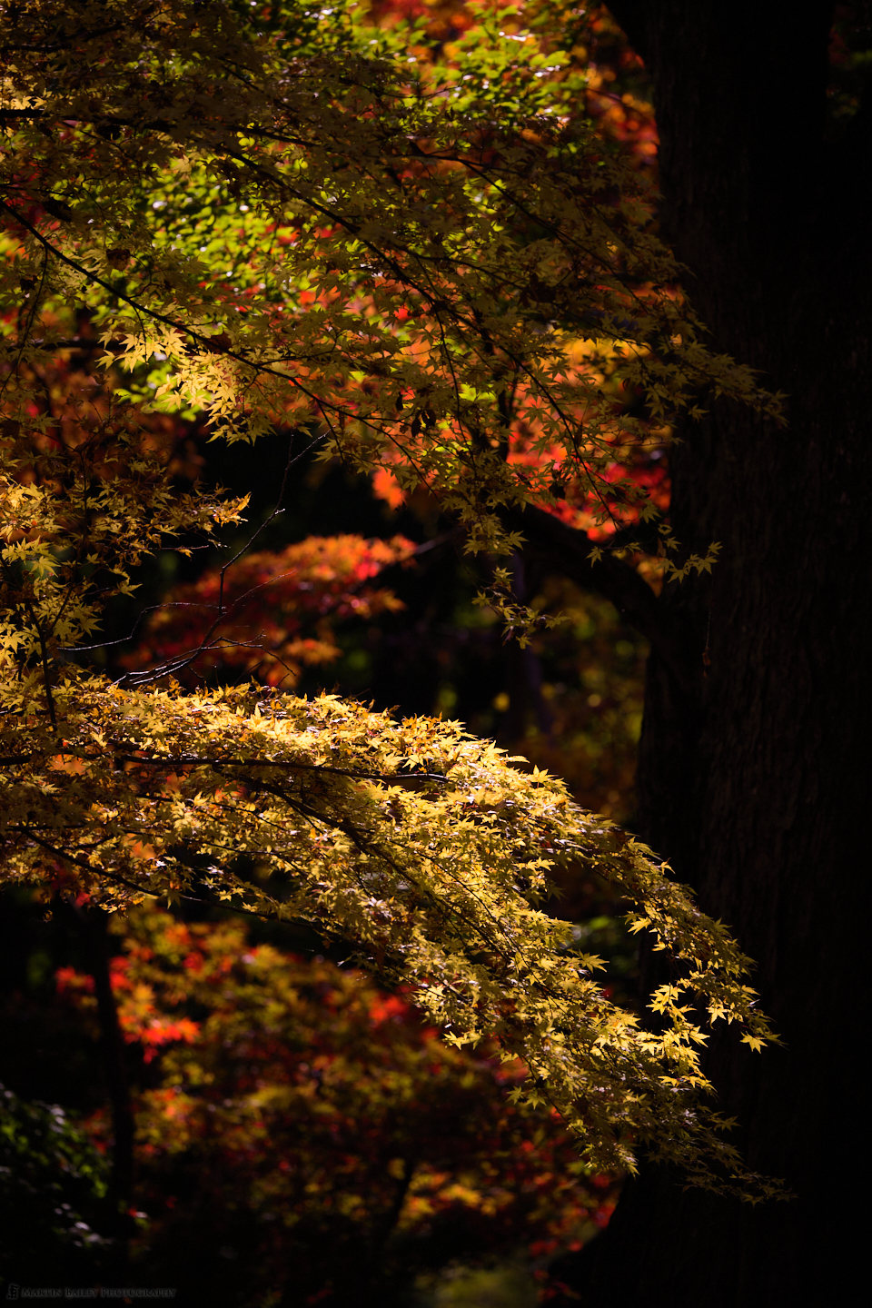 Yellow, Red and Green Maple