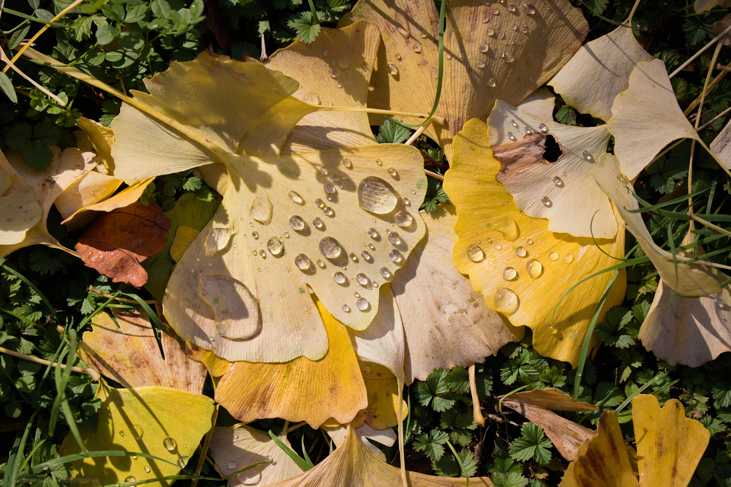 Droplets on Gingko Leaves