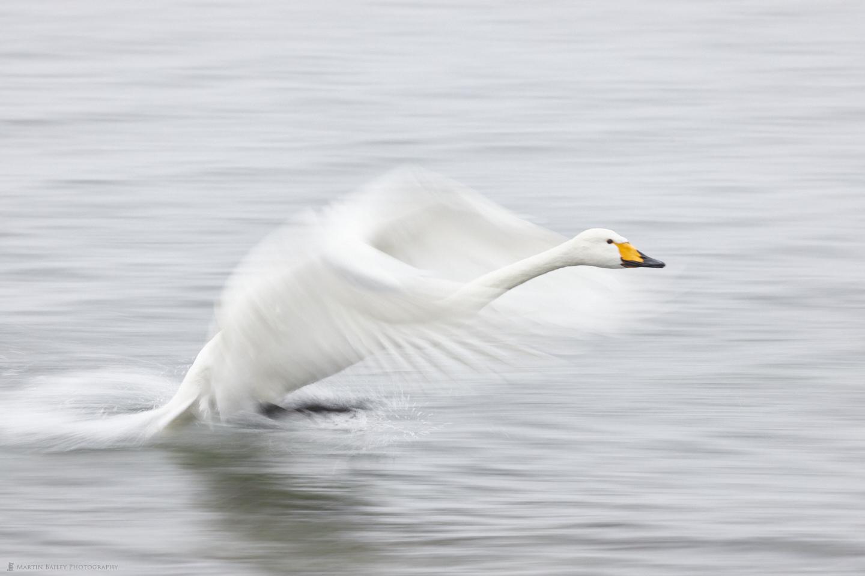 Waterskiing Whooper Swan