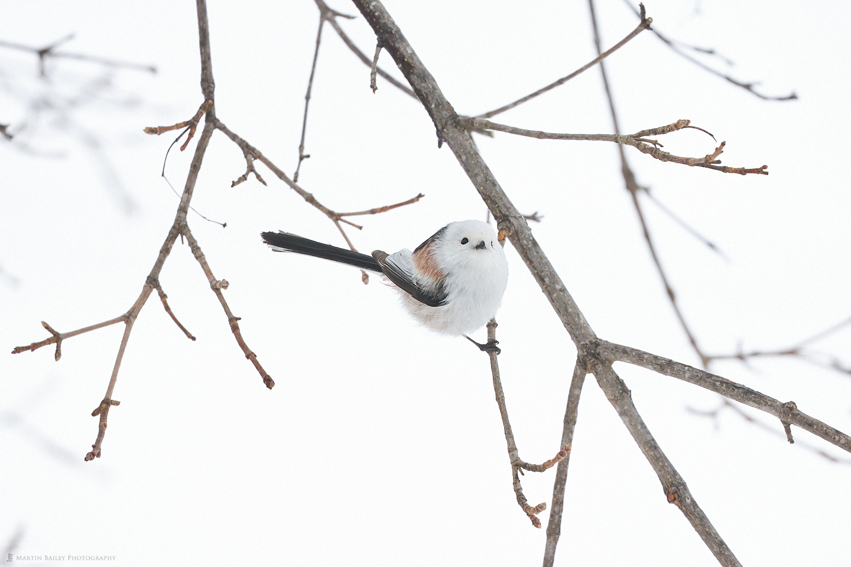 A Hokkaido Long-Tailed Tit