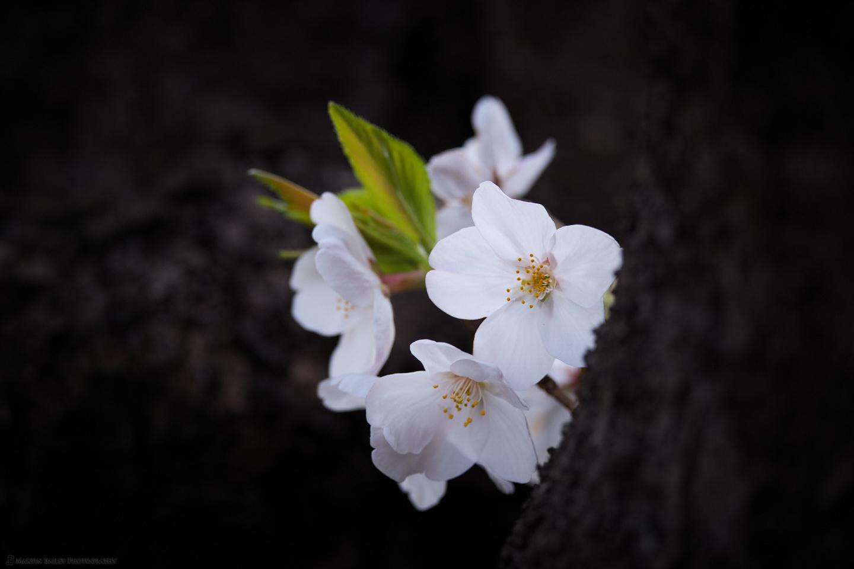 Peekaboo Sakura
