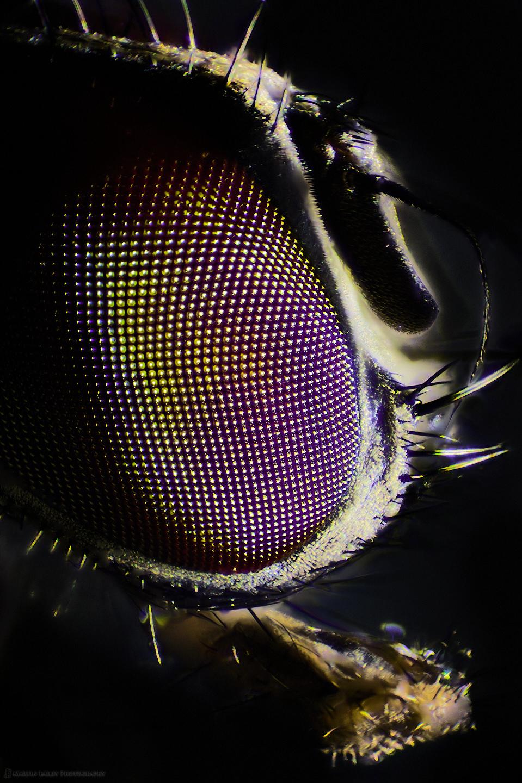 Common Housefly (100X Darkfield Microscope)