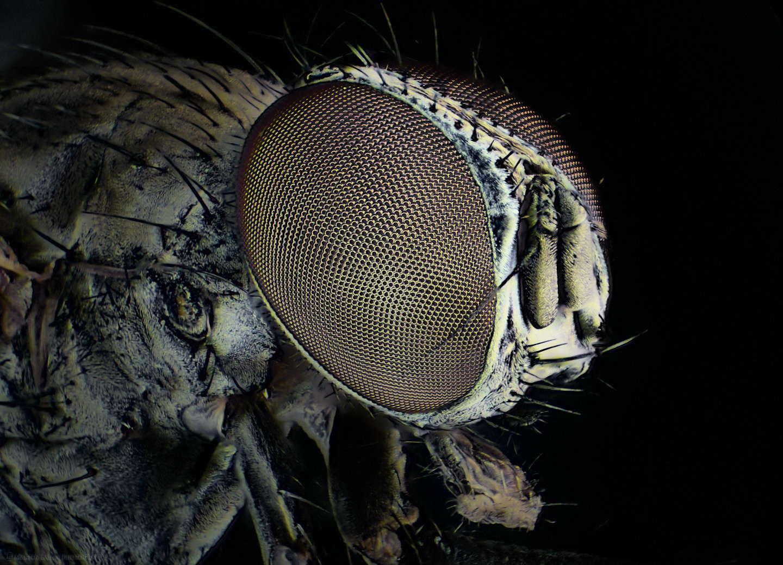 Common Housefly (60X Stereo Microscope)